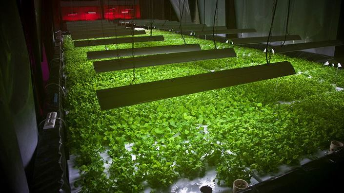 Inside The Plant: Arugula