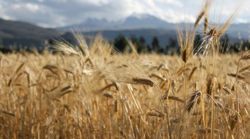 wheat_v1_64947_13543