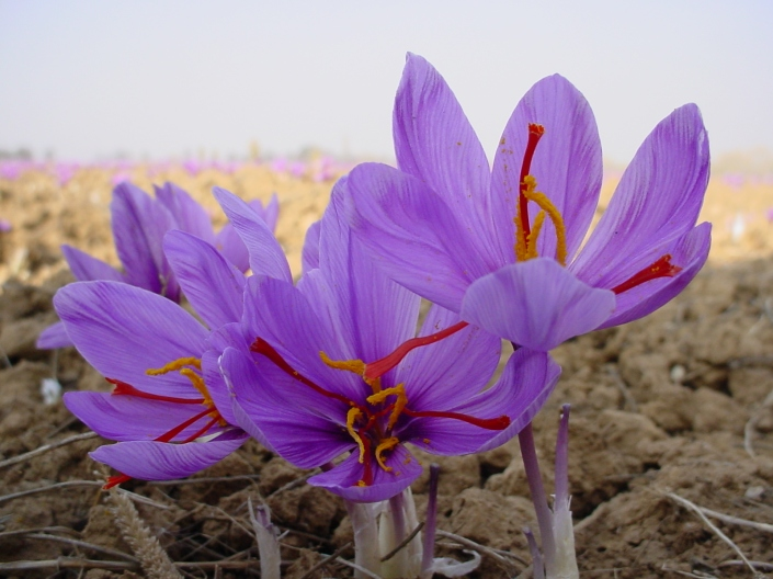 outdoor saffron