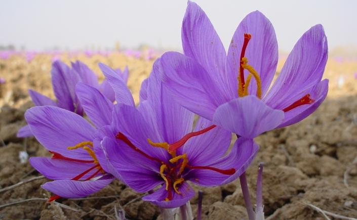 outdoor saffron