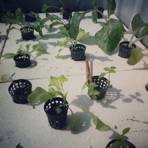 net pots in rafts for hydroponics