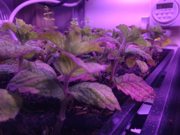 hydroponic mint